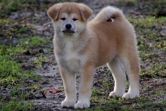 Elevage Du Temple Zen - eleveur de chiens Akita